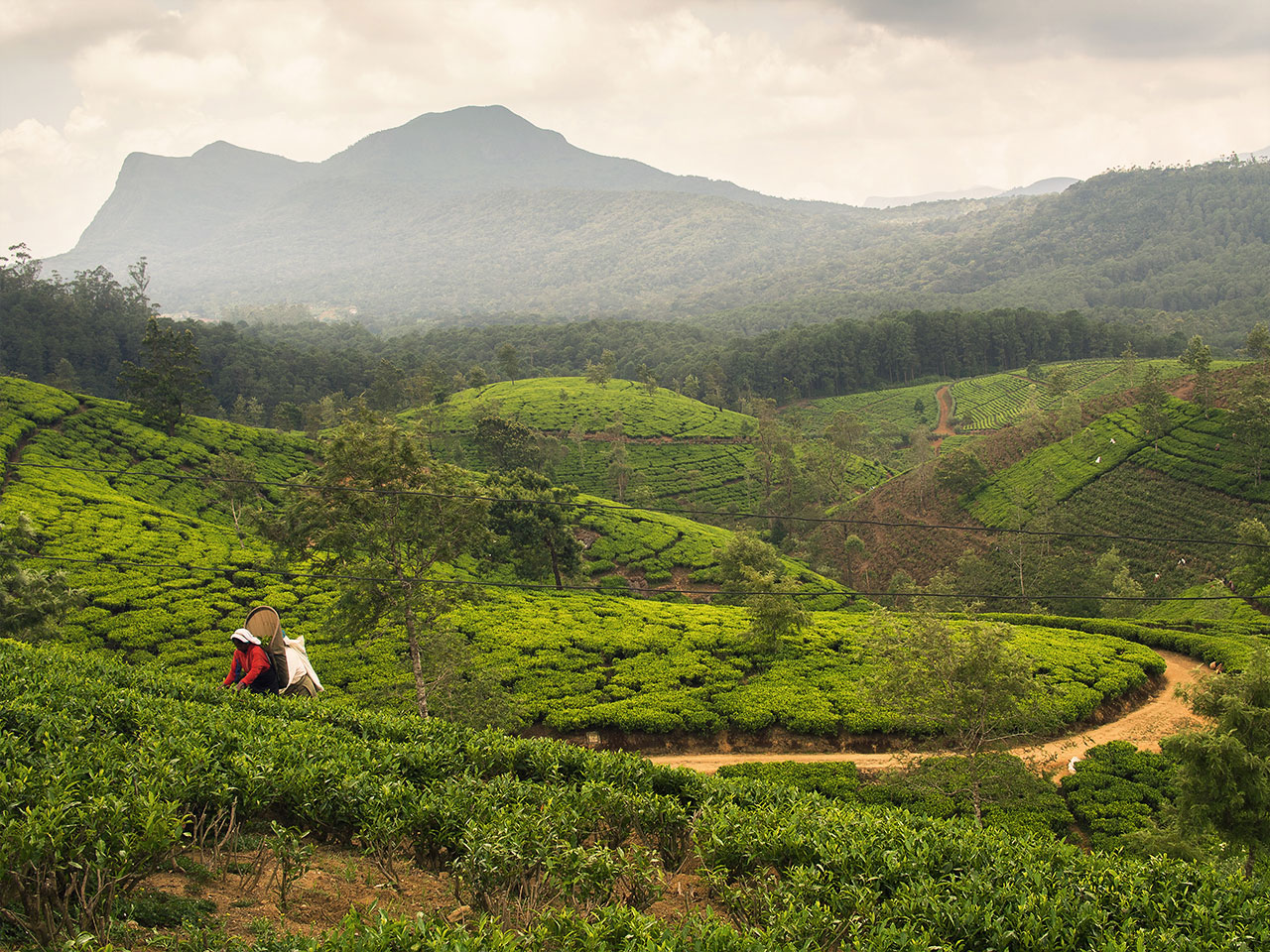 Sri Lanka Tea Plantage
