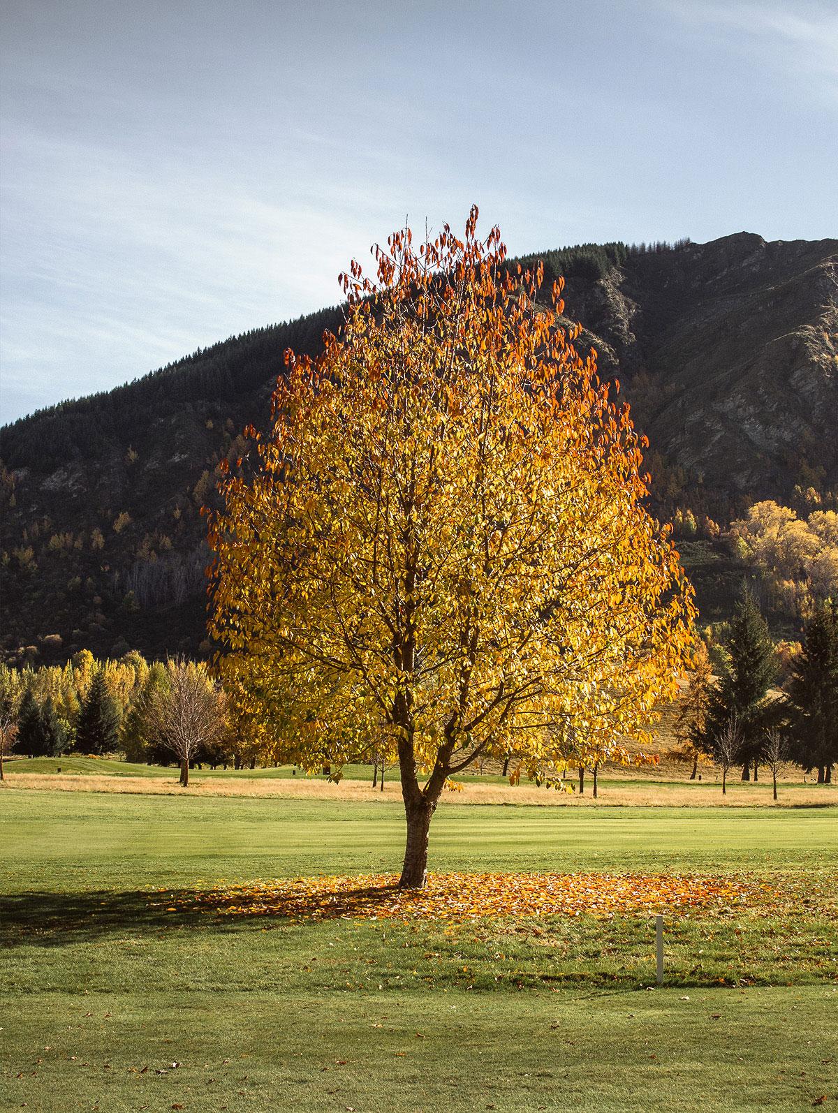 autumn_tree_new_zealand_arrowtown