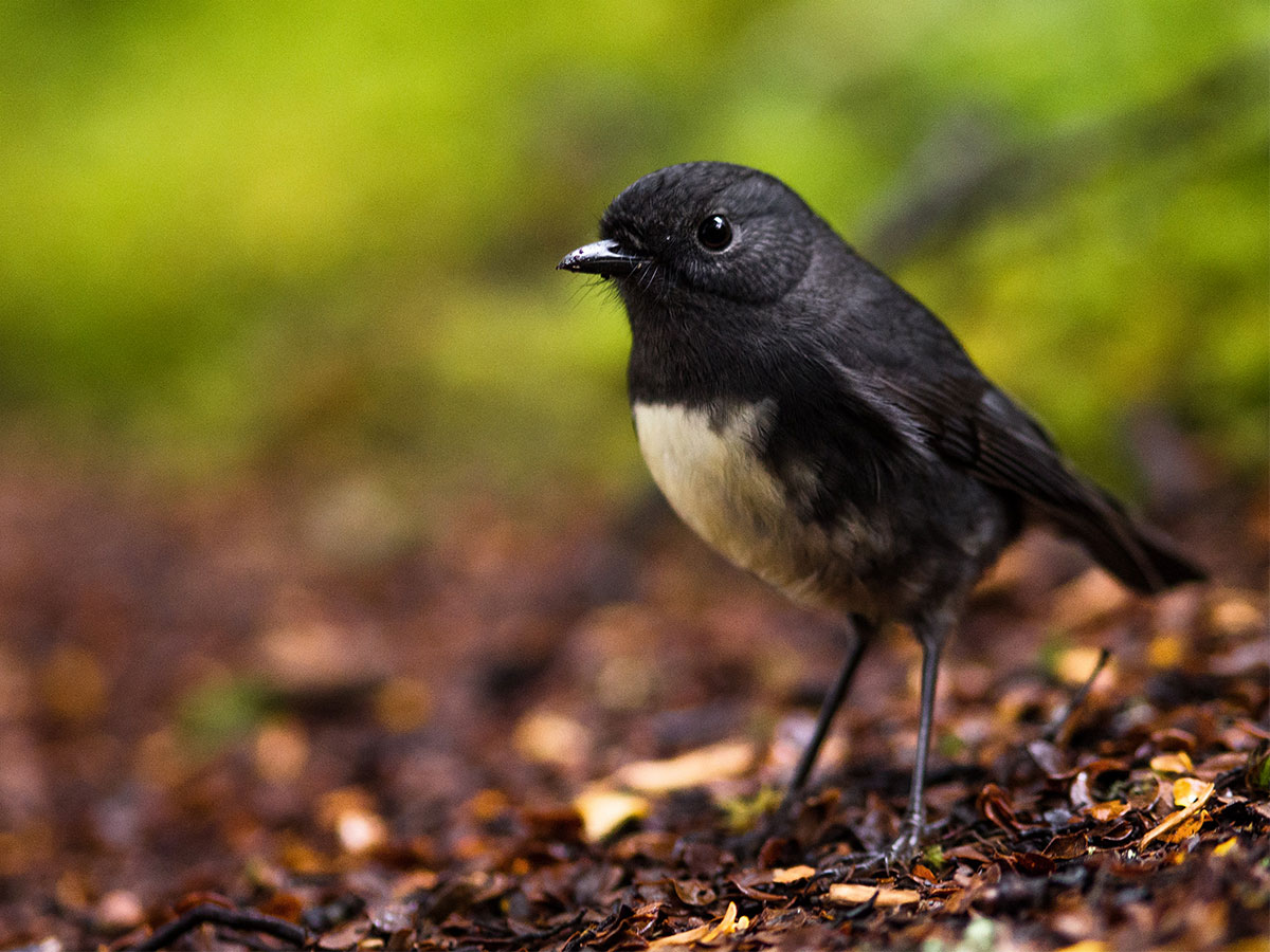 new-zealand-black-robin-bird
