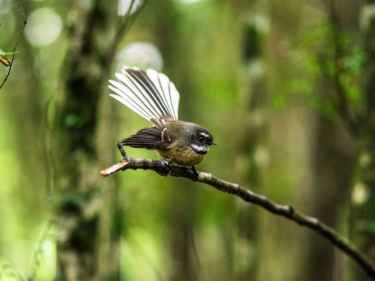 new-zealand-fantail-bird