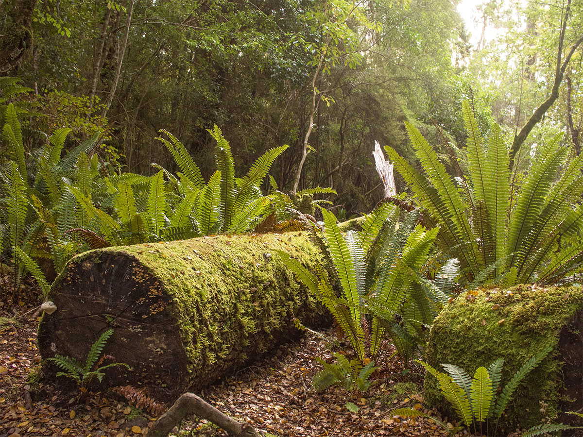 new-zealand-rainforest-trees-kepler-track