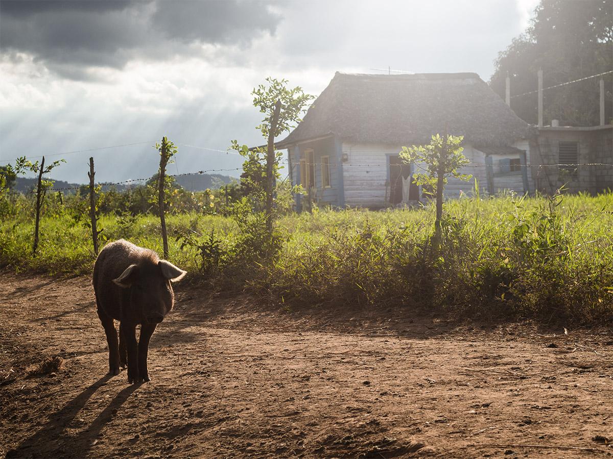 vinales_cuba_farmer_house_pig